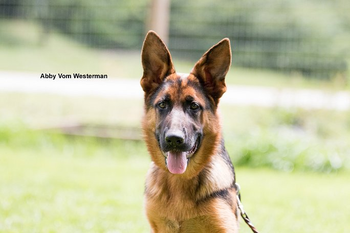 Xentos von der Wilhelmswarte IPO3 - Vom Westerman GSD Puppies For Sale